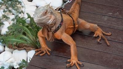 """İguananın sindirim problemi """"sevgiyle"""" tedavi edildi"""