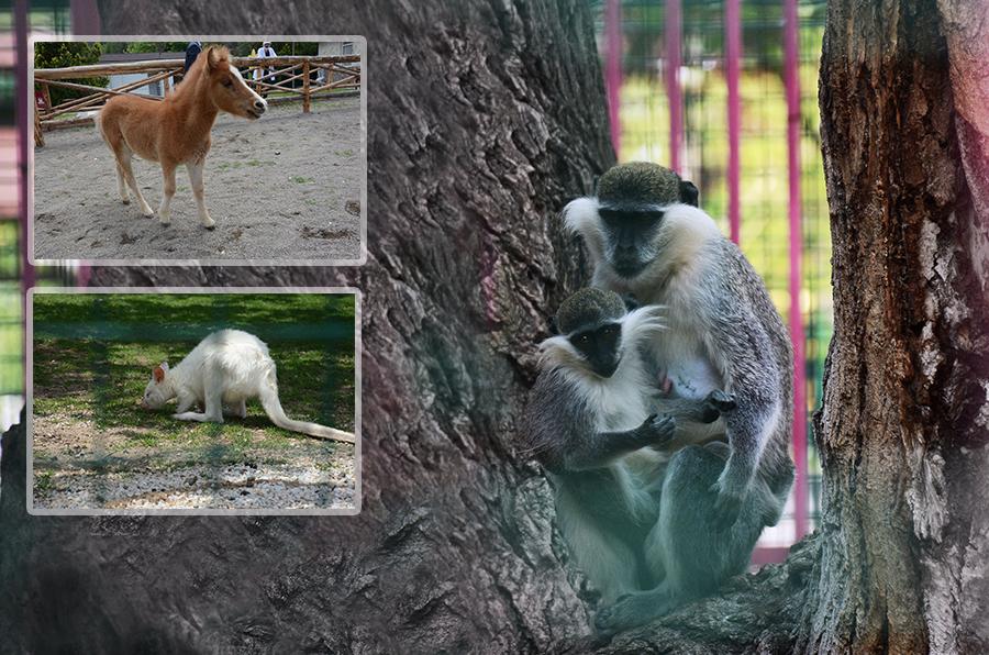 Keçiören'in yeni maskotları: Midilli, maymun ve valabi